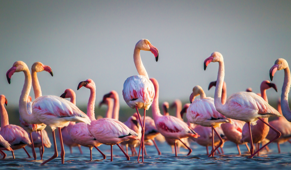 flamingoes